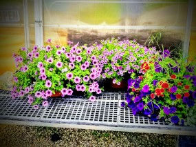 Lost Lake Acres Greenhouse W11534 County Highway DE, Fall River, WI 53932 (920) 484-6044 (24)